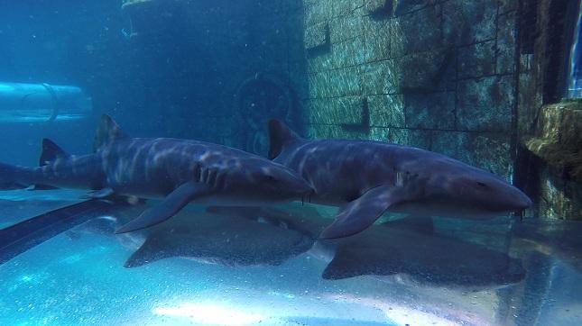Poema del Mar recibe a los tiburones de Siam Park